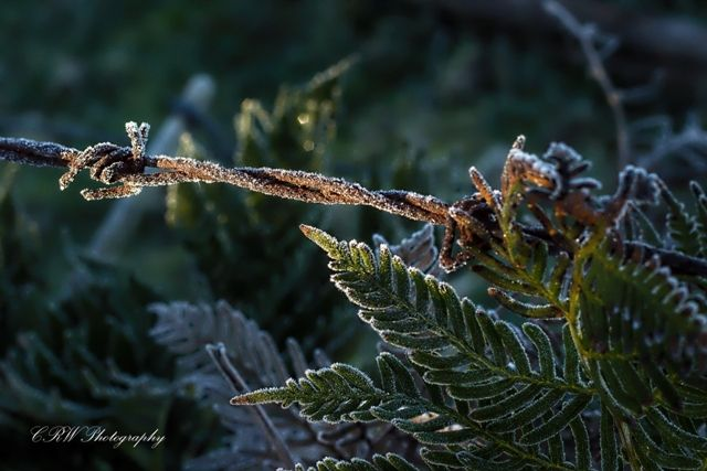 Warm light of sunrise on a frosty fern and barbed wire fence.