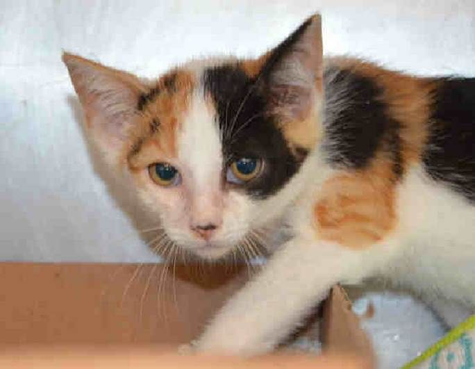 NETTY - A1116228 - - Staten Island  *** TO BE DESTROYED 07/01/2017*** Netty came do us as a stray found at a baseball field. She was wrapped in netting and completely tangled. We are not sure how she ended up like that but we were able to get her untangled immediately. She is a little frightened and needs an experienced foster.  -  Click for info & Current Status: http://nyccats.urgentpodr.org/netty-a1116228/