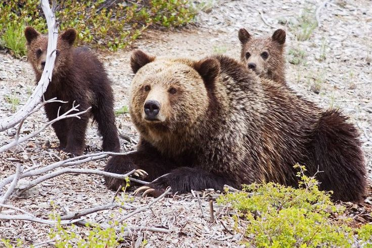 The Trump administration repealed a law that protected bears and wolves (Picture: Getty Images) Donald Trump just made it legal to shoot and kill hibernating bears in Alaska. Hunters can also now use aircraft to track and shoot the bears, after the Obama-era wildlife protection laws were...