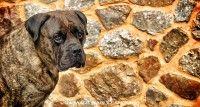 www.martinaburianova.cz Dogs - Bullmastiff