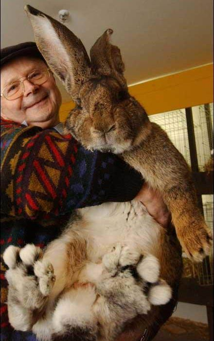 A man has been showing off his gigantic rabbit named Herman.  The mighty bunny weighs a massive 7.7kg, and his ears are a lengthy 21cm - almost as long as most pet rabbits are tall. And he is almost 1m tall.  The mighty bunny weighs a massive 7.7kg, and his ears are a lengthy 21cm - almost as long as most pet rabbits are tall. And he is almost 1m tall.  The German Giant is even big for his breed, which usually tip the scales at around 6kg.  The German Giant is even big for his breed, which…