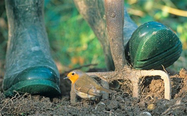 Cuando remueves la tierra en el jardín, el pequeño petirrojo siempre te acompaña, esperando un insecto o larva que poder comer.