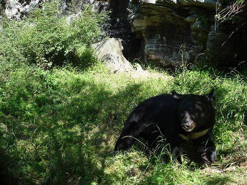 black bear    #china #animal #nature #chinese