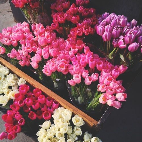 Pink, Violet, Magenta and White Tulips flower flowers floral tulips flower pictures