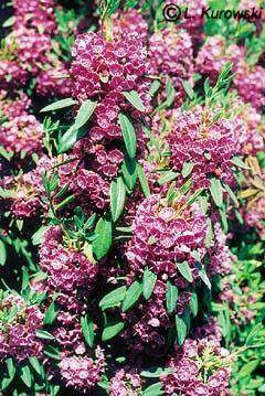 Kalmia angustifolia 'Rubra' - Kalmia wąskolistna 'Rubra'