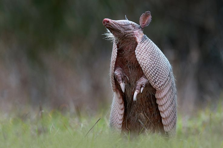 armadillo by Sean Crane - they say there are armadillos in New Mexico, but I have yet to see one - would love to though!