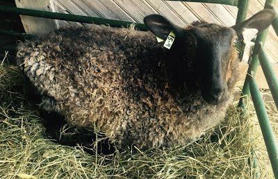 Clearwater Farm: Shepherdess Notes: Fly Strike Raising Sheep