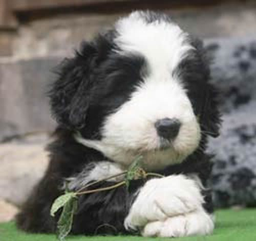 Bearded Collie Puppy Baby