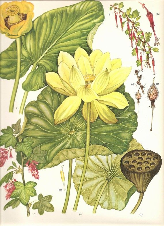 Vintage Botanical Print 1970 Color Art Wild Flowers Book PLATE 152 Beautiful Yellow Lotus Lily Pond Lily,Fuchsia Goseberry  Flowers Plants.