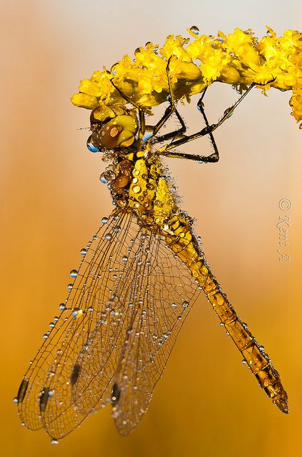 Yellow Dragonfly-it's that time of year that they are coming around now