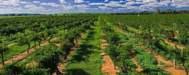 Penfolds Wines - KOONUNGA HILL VINEYARD