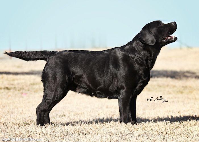 English Labrador Retriever Labradorretriever Labrador Retriever