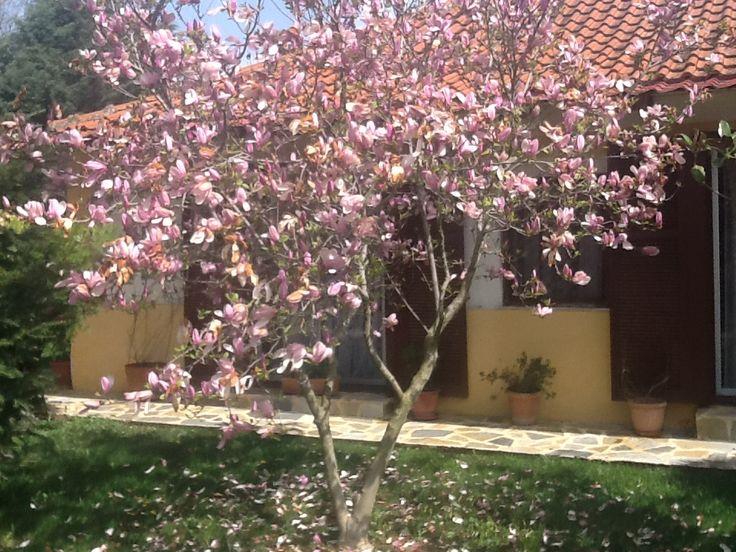 Μανόλια στον κήπο μου