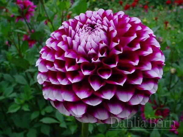 : Favorite Flowers, Dahlias Barns, Sharkey Dahlias, Gorgeous Flowers, Flowers Bouquets, Growing Dahlias, Cute Ideas, Pom Dahlias, 2014 Dahlias