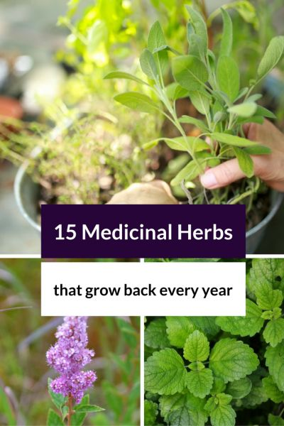 15 Medicinal Herbs That Grow Back Every Year Herbs and Herbal