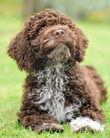 Spanish Water Dog photo | ... Managed image, photo - Perro de Agua Espanol - Spanish Water Dog