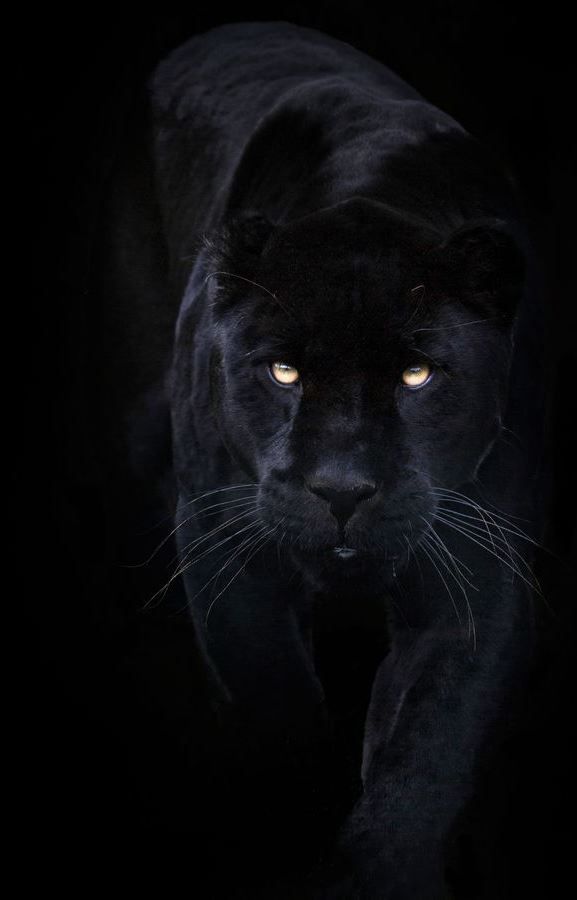 Magnificent ...I'm so crazy about black panthers...always have been.