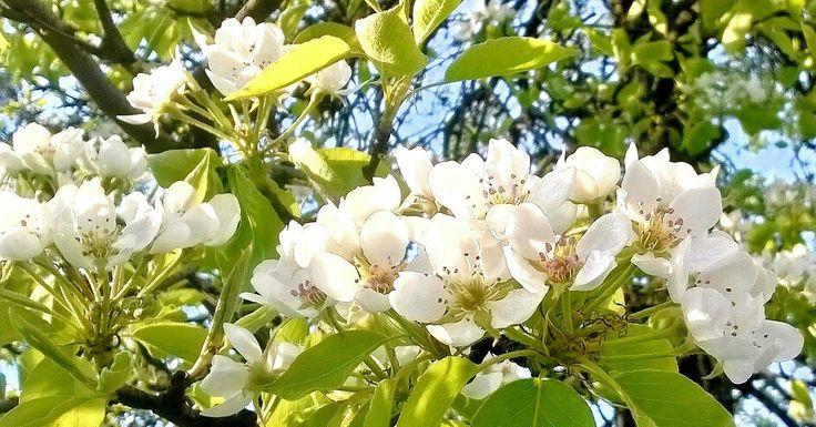 Kwiatostan Gruszy(GRUSZKI).