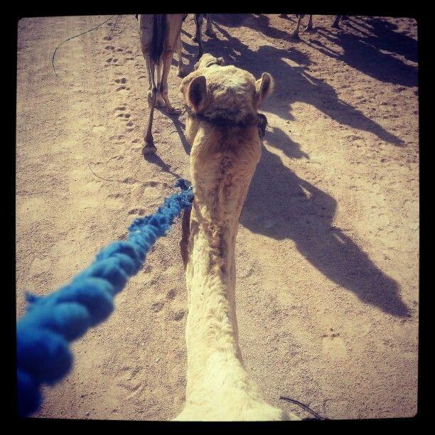 Egypt,  camel ridings