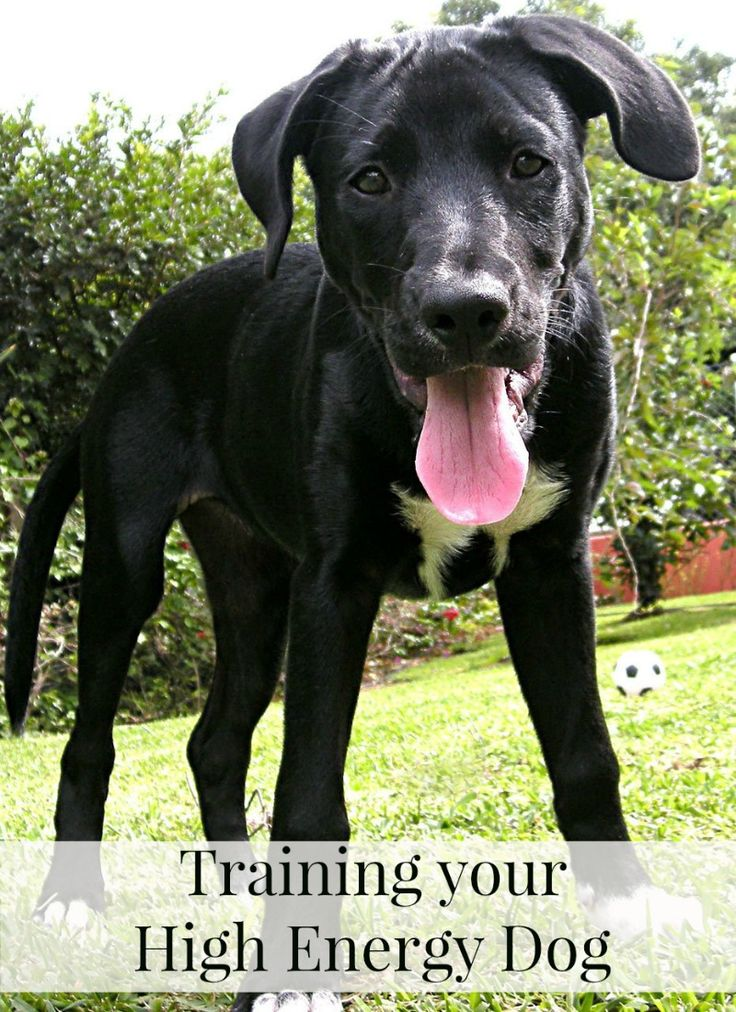 Tips for Training Your High Energy Dog  Some dogs are just more high energy than others. Most people that have spent any time around dogs has known a dog that seemed to be hyperactive… always jumping up and nipping and constantly looking for attention.