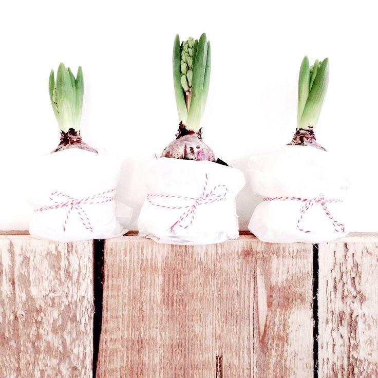 Hyacinten | By irispetri