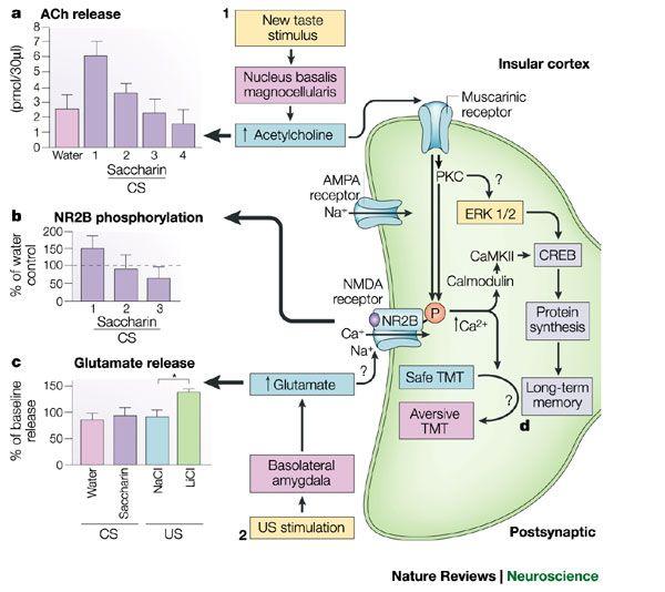 Molecular mechanisms of taste-recognition memory