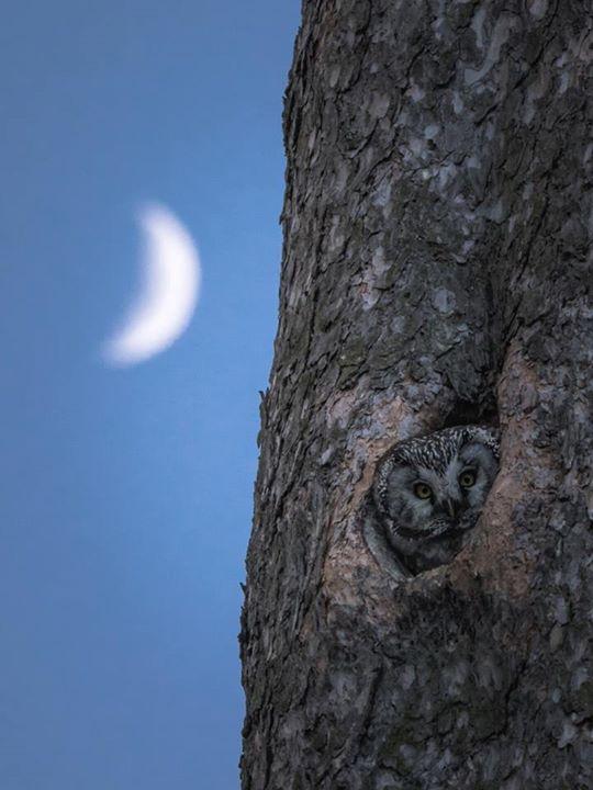 #moonlight #owl https://www.facebook.com/torpedoowl/