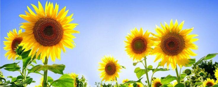 """Girassóis – Como Cultivar e Utilizar Essas Lindas Flores - A nobreza do girassol está presente até em seu nome científico Helianthus annus, em que Helianthus significa """"flor do sol"""". Além de bela e chamativa, qualidades que a tornam uma excelente planta ornamental, essa flor é muito útil e é possível aproveitar todas as suas partes.    Girassol   Hoj... - http://www.tradutorgoogle.com/ecoblog/2014/09/24/girassois-como-cultivar-e-utilizar-essas-lindas-flores"""