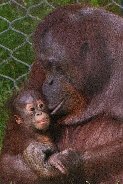 Baby orangutang and mom. Mama & Baby - many are orphaned after the mother died shot or burned in forest fires to make room for palm oil. Indonesia is home to orangutans and their habitat - the rainforest - has been destroyed for year to grow the trees that produce palm oil. Check the labels of your bathroom supplies and food (nutella is a big culprit).