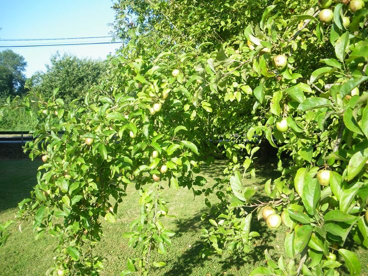 Apples in abundance on the trees in our garden. Other trees include peach, damson, pear, prune.