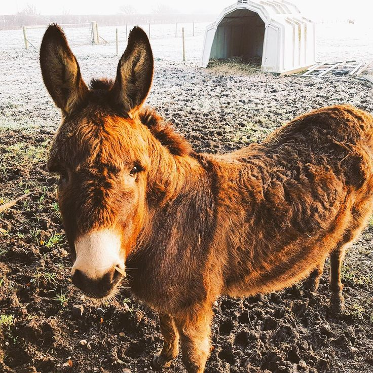 #goodmorningpost from Choccy this chilly #december morning on the farm. 5 more sleeps till #christmas ! #photoftheday #instagood #farmlife #donkeyoftheday #donkeylife #carolinesdairy #carolinesdairyicecream #westsussex #wednesdaywisdom