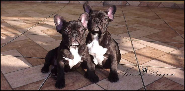Bulldog Frances - R$ 3.500,00 no MercadoLivre