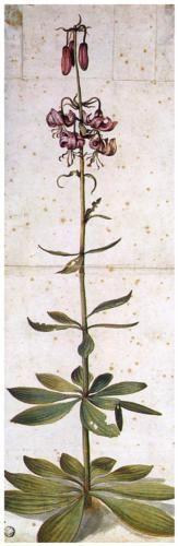 Albrecht Dürer, Martagon Lillium
