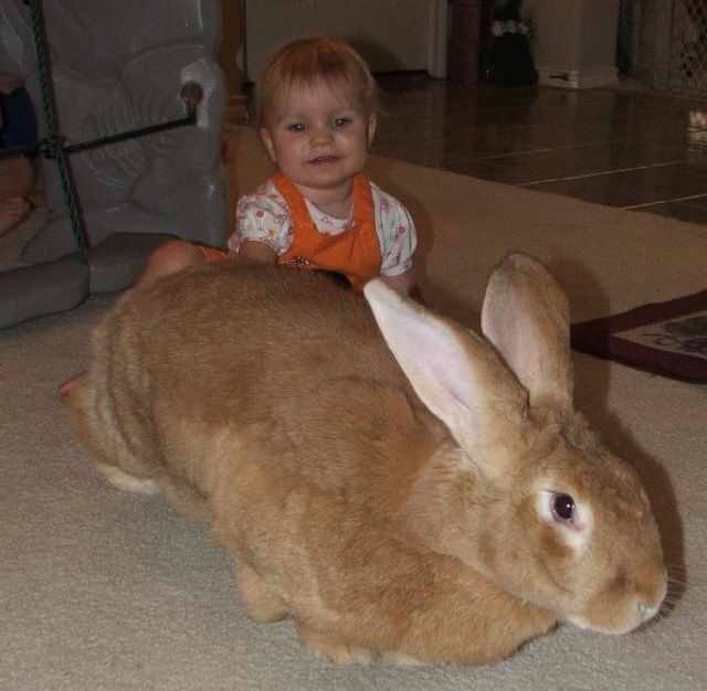 Flemish Giant house rabbit  This is probably the only rabbit on Earth that could make Ringo look little.