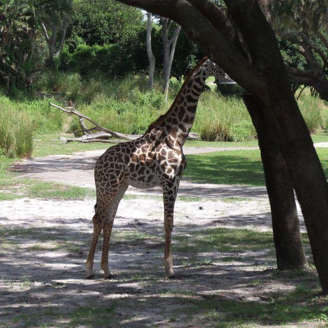 Disney's Animal Kingdom at Walt Disney World in Orlando, Florida, USA