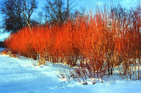 Flame Willow (Salix 'Flame') zone 3, watch out for invasive tendencies.