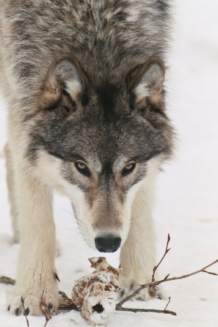 on All About Wolves  http://www.all-about-wolves.com/wp-content/gallery/free-wolf-photos-and-wallpaper/wolf_44_big.jpg
