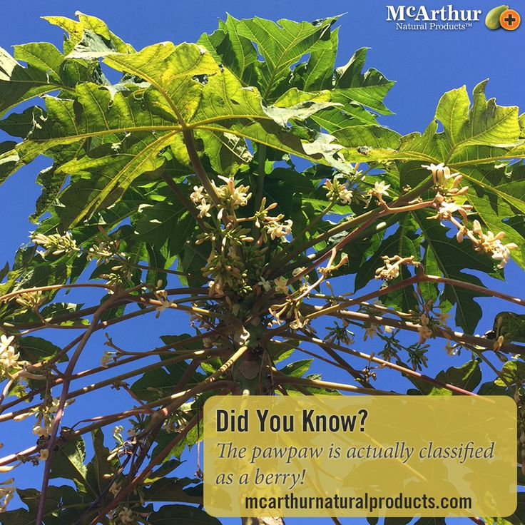 Did you know?  The pawpaw is actually classified as a berry!   Find out more about the health benefits of Pawpaw here: http://mcarthurnaturalproducts.com/about-pawpaw-sub/#pawpaw1  #mnp #mcarthurnaturalproducts #australiangrown #pawpaw #papaya #papain #papaw #factsaboutpawpaw #didyouknow