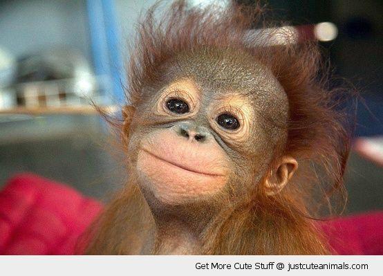 happy smiling monkey primate baby orangutan smiling posing cute animals wild wildlife species planet earth nature pics pictures photos images