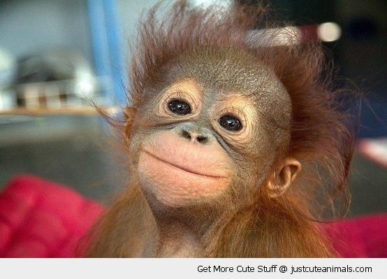 happy smiling monkey primate baby orangutan smiling posing cute animals wild wildlife species planet earth nature pics pictures photos images