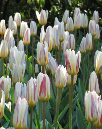 Tulipa Ice Stick. Kaufmaniana. March April. 40cm.