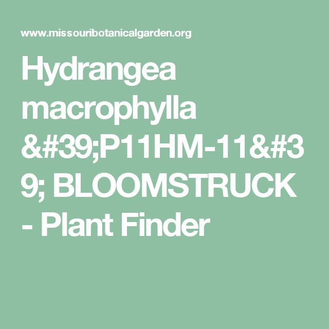 Hydrangea macrophylla 'P11HM-11' BLOOMSTRUCK  - Plant Finder