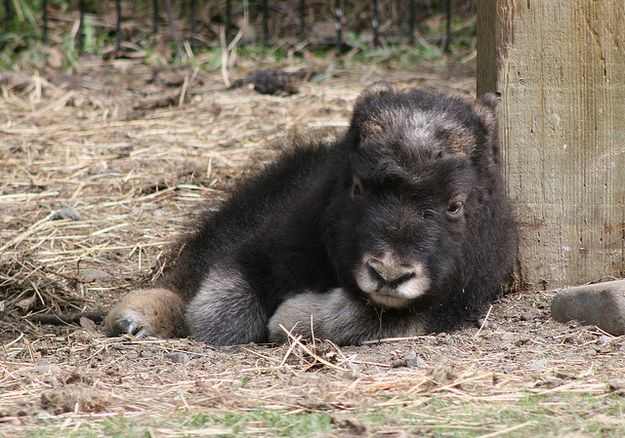 Baby Musk Ox Exhibit A: Baby relaxes