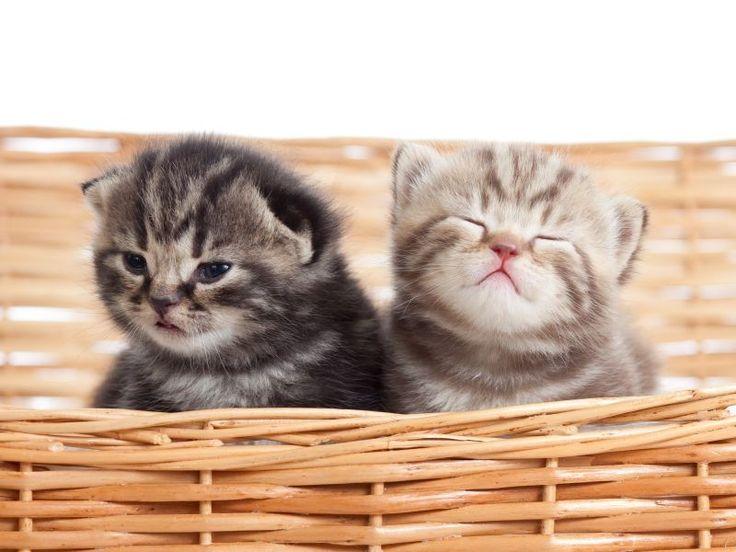 die besten 17 bilder zu s e katzen babys auf pinterest inseln schottische faltohrkatze und. Black Bedroom Furniture Sets. Home Design Ideas
