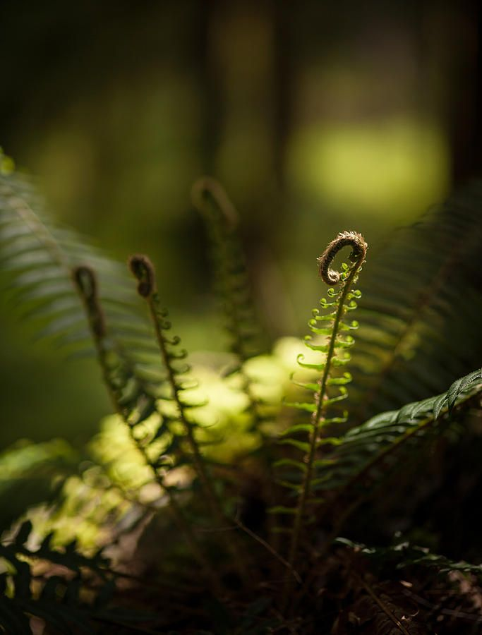 Olympic National Park Photograph - Sunlit Fiddleheads by Mike Reid - Pixels.com