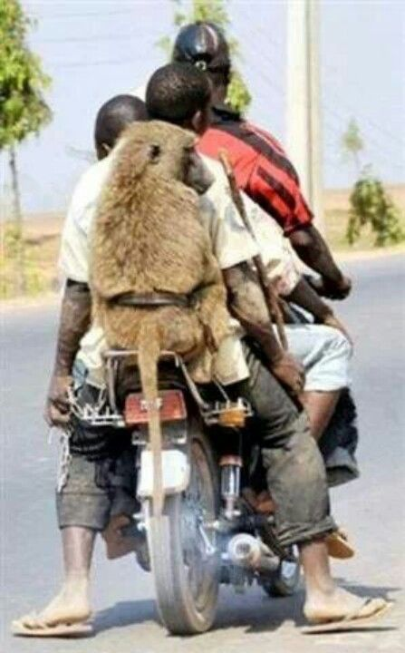 Baboon hitching a ride in Africa!
