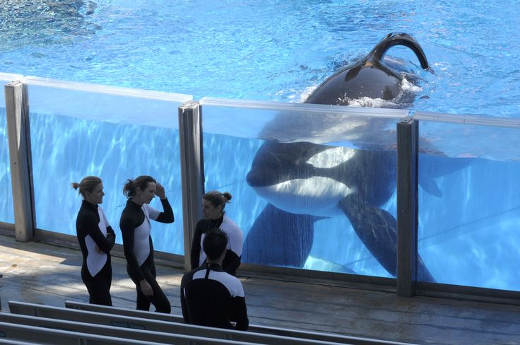 Tilikum, the SeaWorld Whale that Killed Trainer and Inspired Blackfish, Dies in Captivity