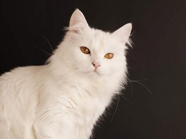 Kucing Anggora Si Cantik Keturunan Turki Kucing Anak Kucing Gambar