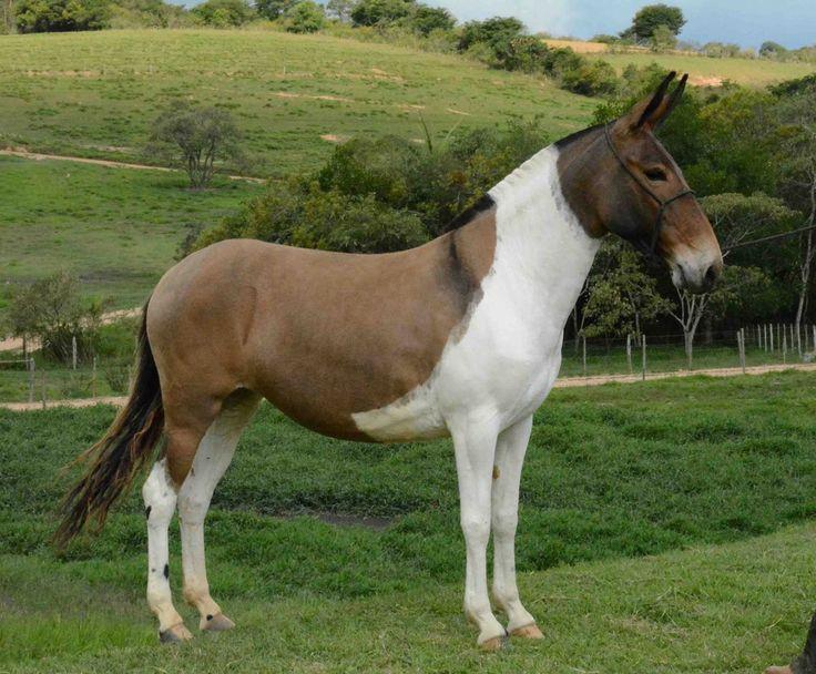 Pretty Tri Colored Mule