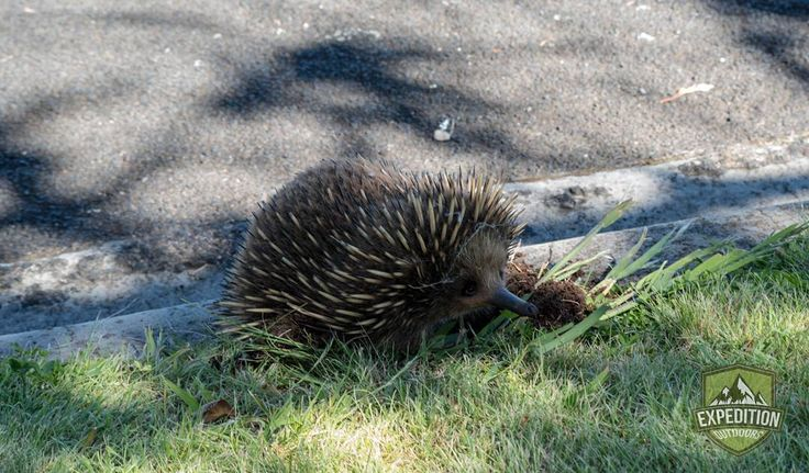 Found this little Echidna in East Devonport Tasmania. It was hard to take a photo of him because he kept walking up to me and sleeping next to me.  #tasmania #tasmaniagram #discovertasmania #instatassie #expeditionoutdoors #SeeAustralia #discoveraustralia #earthpics #bestnatureshots #igpowerclub #igphotoworld #GlobalCapture #Exploringtheglobe#bestworldpics #phenomenalshot #AdventureTasmania #photooftheday #traveldiary #beautifulnature #explore #adventure #livelife #wow_australia2016…